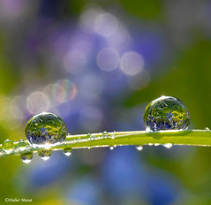 Perles de rosée (didier95) Tags: flowers blue flower macro fleur fleurs nikon eau bleu dew pearl rosee mfcc rosée thegalaxy fabuleuse perlesderosée