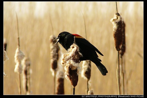 Konk~la~reee - Red-winged Blackbird (Agelaius phoeniceus)