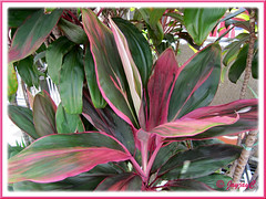 Cordyline terminalis/C. fruticosa or Ti Plant, Hawaiian Ti - (pink/maroon/green/white), in the neighbourhood
