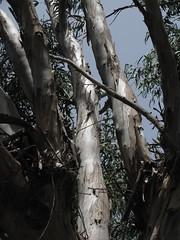 La Palma - Eukalyptus (Chironius) Tags: bäume wald lapalma espagne spanien spain españa spagna испания eukalyptus vulkan volcano volcan vulcan volcán volcanoes вулкан gunung сопка baum tree trees arbre дерево árbol arbres деревья árboles albero árvore ağaç boom träd holz wood legno madera bois hout rosids malvids myrtales myrtenartige myrtaceae myrtengewächse myrtoideae eucalypteae eukalypten eucalyptus