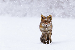 Fox in a Snow Storm