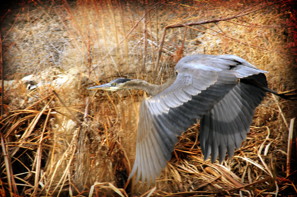 Blue heron takes flight 2