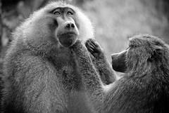 _IGP1804 (orang_asli) Tags: africa blackandwhite bw nature animals tanzania mammal monkey nationalpark noiretblanc action champs nb fields baboon manyara lieux afrique singe mammifère aficionados faune delouse naturel tanzanie savane babouin parcnational géographie traitements épouiller mammifre gžographie žpouiller