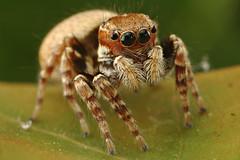 Jumping Spider (Dwi Janto Johan) Tags: macro hongkong nikon d70s sb600 micro lantauisland tungchung sb24 sb25 br2a orderaraneaespiders kenkoexttube12mm phylumarthropodaarthropods notaxonentelegynes infraorderaraneomorphaetruespiders classarachnidaspidersscorpionsmitesandticks familysalticidaejumpingspiders genussitticus reverselenscanon24mmfd