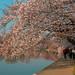 Cherry Blossom5