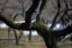 Ume / Prunus mume / () (TANAKA Juuyoh ()) Tags: flower high hires resolution 5d hi  ume res prunus markii  kairakuen    ibarakiken mume  mitoshi