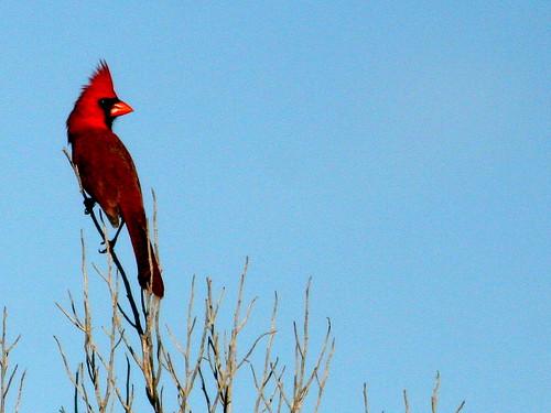 Northern Cardinal 20100204