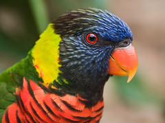 Rainbow Lorikeet (Marc_Scott-Parkin) Tags: