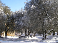 20100212 - Snowpocalyspe Olive Tree Blogging