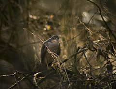 Sparrow Hawk's Lair (1963chris) Tags: male nature birds countryside raw wildlife sony predator britishwildlife birdsofprey sparrowhawk hawks pottericcarr britishbirds mygearandmepremium mygearandmebronze