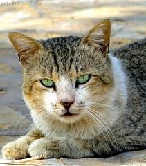 ِِقًَََِـــــطـــــتٌ . . . انــــــت (محمد الرشيد) Tags: animals cat حيوانات قطوة حيوان قطه قط قطة قطوه قطو قطيوة حديقةحيوان محمدالرشيد