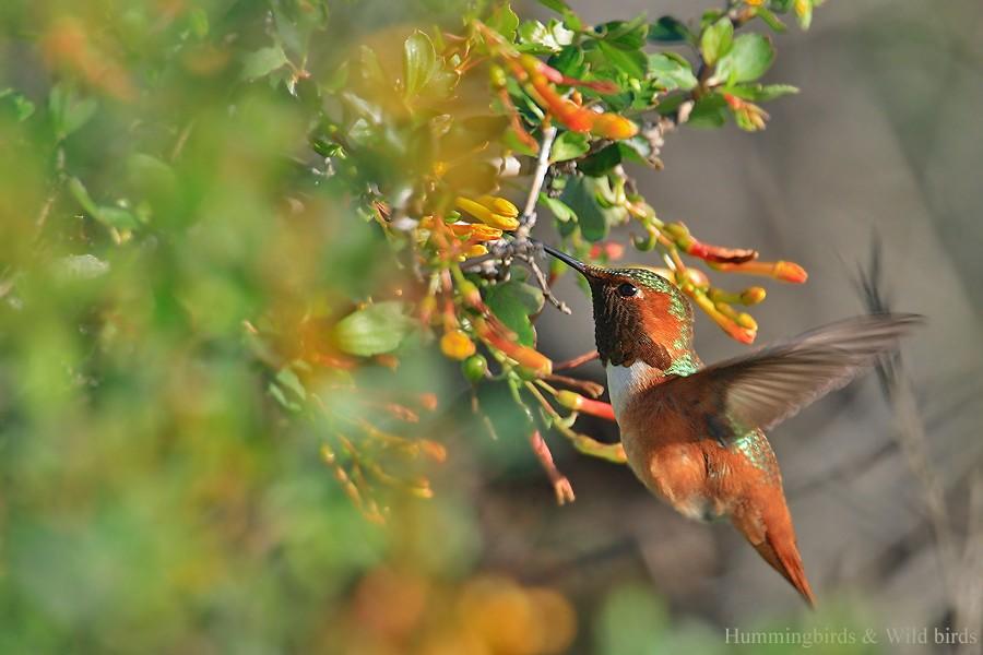 Allen's Hummingbird 02101-112