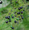 Etheric world of blue and green Asparagus fern berries (jungle mama) Tags: blue fern green stem berry berries dof miami seed tropical 1001nights thorn distillery soe blueberries coth etheric asparagusfern supershot abigfave platinumphoto anawesomeshot diamondclassphotographer flickrdiamond ysplix blueandgreenberries theunforgettablepictures goldstaraward asparagusfernberries 100commentgroup dragondaggerphoto naturesgreenpeace 1001nightsmagiccity biscayneparkflorida fernberry