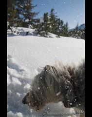 Snow shaking (mcPhotoArts) Tags: schnee trees winter dog chien snow germany bayern deutschland bavaria snowflakes perro hund cachorro wintertime flakes bume wank garmischpartenkirchen winterzeit htehund schneeflocken flocken bergerpicard bergerdepicardie canoneos400d sigma1770mm2845dcmacro photoshopcs4 bumblebeephotografix ffgapashow