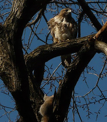 Red-Tailed Hawk in Tompkins Square Park