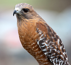 Red-shouldered Hawk (San Diego Shooter) Tags: wallpaper bird birds sandiego hawk ramona desktopwallpaper birdofprey redshoulderedhawk hawks haws sandiegodesktopwallpaper