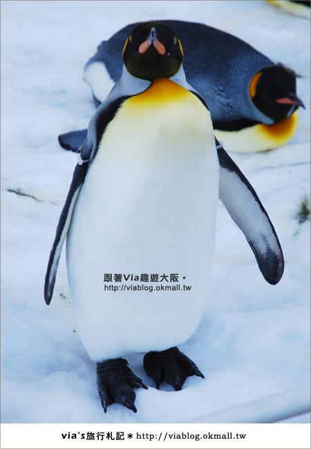 【via關西冬遊記】大阪海遊館~冬季限定!無敵可愛企鵝遊行來囉!9
