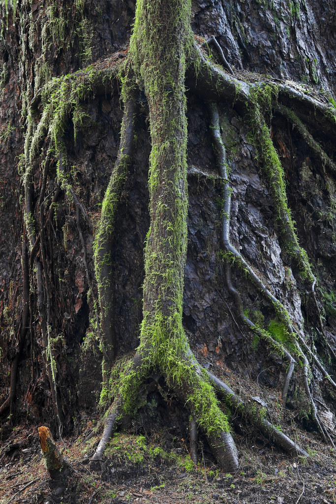 western hemlock tree the worlds best photos of hemlock and roots flickr hive mind