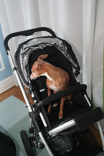 Dog in a Stroller!