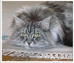 Maxwell wartet auf den Frhling - Maxwell, waiting for spring! (Jorbasa) Tags: pet animal cat germany deutschland spring hessen mainecoon maxwell katze kater tier tomcat frhling wetterau jorbasa blacksilverclassictabby