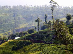tea growing in the highlands of Sri Lanka ~ Teeanbau im Hochland (© the-best-is-yet-to-come ©) Tags: december srilanka 2009
