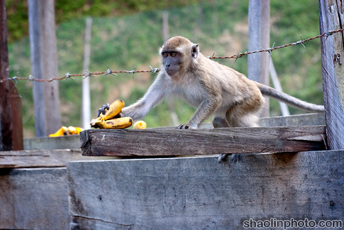Monkeys Love Bananas