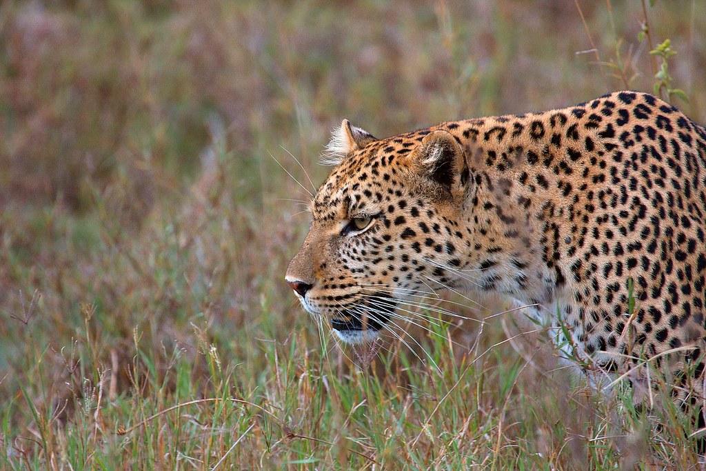 leopard by malcolmcerfonteyn, on Flickr