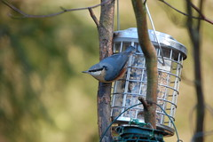 Watching nervously (dave millers photos) Tags: nature birds durham low barns reserve co british nuthatch