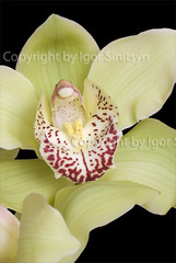 Orchid (Igor Sinitsyn) Tags: white plant orchid flower macro green yellow closeup close orchids petal orchidaceae lip isolated ovary cymbidium cypripedium caladenia orchide labellum tepal pedicel tepals arietinum