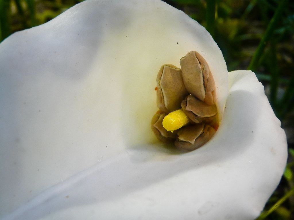 arum lily frogs