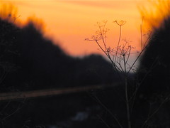 Winter Survivor (lynn.h.armstrong) Tags: camera railroad sunset orange sun ontario canada art nature yellow night lens landscape geotagged outdoors photography landscapes photo bush weeds long flickr shot photos sony south country tracks peaceful rail cybershot brush lynn h armstrong dsc stormont cyber gettyimages sault flickrcom ingleside superzoom attributionnoderivs redbubble redbubblecom ccbynd hx1 dschx1 lynnharmstrong requesttolicense requesttolicence