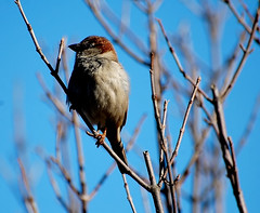 his better profile (Gosia Margosia) Tags: cambridge usa boston birdie ma march sparrow