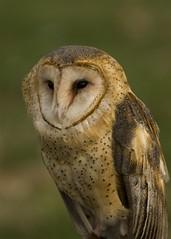 A cold wind blows 2 (littlebiddle) Tags: bird nature washington wildlife sony aves owl dslr yakima barnowl a700