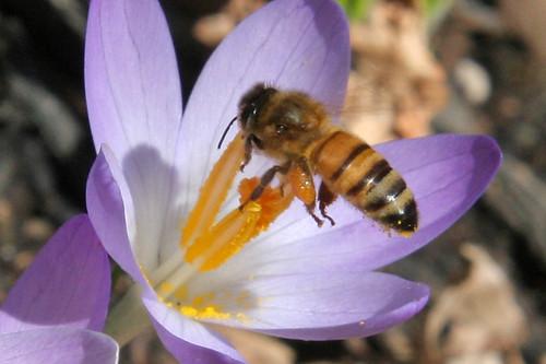 bee on crocus 041