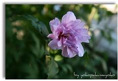 Hibiscus double (yokopakumayoko) Tags: sardegna © colori distillery botanica giardini preferiti nuoro baronia thesuperbmasterpiece natureselegantshots irgoli hibiscusdouble fiorimeravigliosi solofiori fioredelmiogiardino theoriginalgoldseal fotografidisardegna flickrsportal tramontiinbarbagia