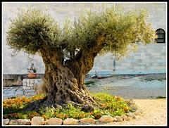 Beit Jamal: Ancient Olive Tree, over 2K years old (Flavio~) Tags: canonpowershotsx1is