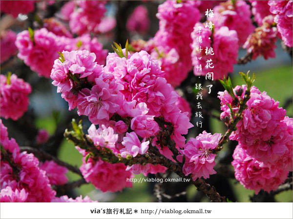 【梅峰農場桃花緣】最美的桃花隧道,就在南投梅峰這裡~(上)43
