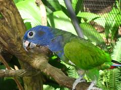 Blue-headed Parrot, IMG_8408 (yhshangkuan) Tags: brazil blueheadedparrot diamondclassphotographer flickrdiamond iguacufall 2010birdpark