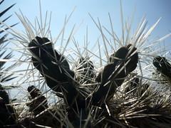 Cactes 3 (L'imaGiraphe (en travaux)) Tags: cactus plant france planta alpes pl