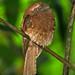 Ceylon Frogmouth (Batrachostomus moniliger)