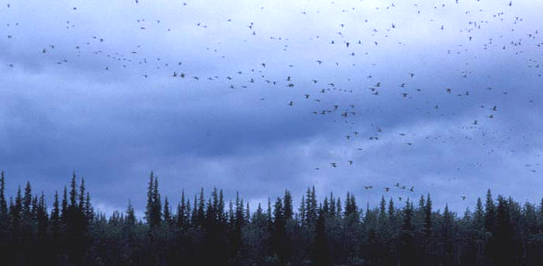 birds_migrating_fws