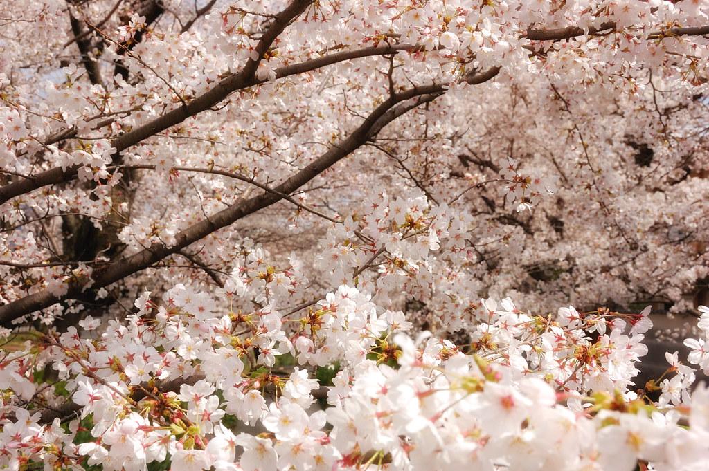 Sakura 2010 #13