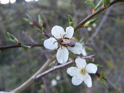 Blackthorn Blossom And Bee