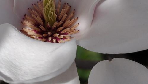 BBG Magnolia Creamy