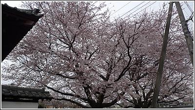 近所のお寺の桜
