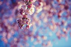 Blossom loves Bokeh! (Morphicx) Tags: pink blue blur blossom bokeh cherryblossom 5d japanesecherry 2470f28l japanesecherryblossom bokehwhores