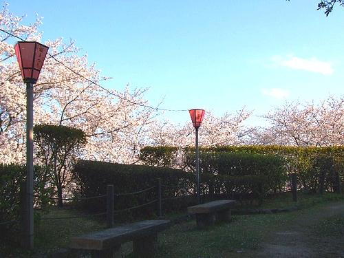大竹 亀居公園 桜 画像 2