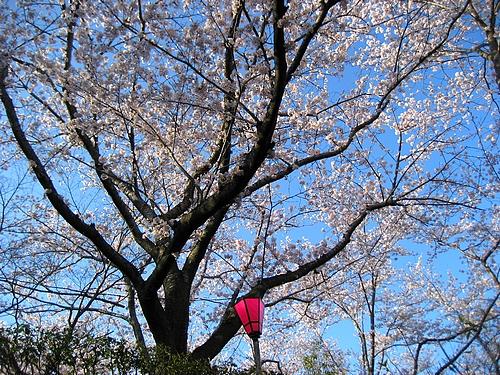 大竹 亀居公園 桜 画像 1