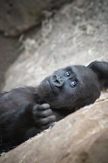 Thinking II (fusky) Tags: madrid españa baby zoo spain nikon bebe nocrop gorila d90 zoomadrid specanimal cautividad 70300vr fusky