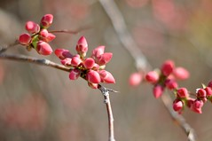 Budding Quince (Michelle*G) Tags: pink flowers spring buds quince